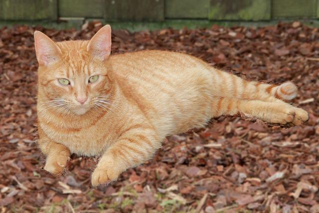 Cat red red tomcat, animals.