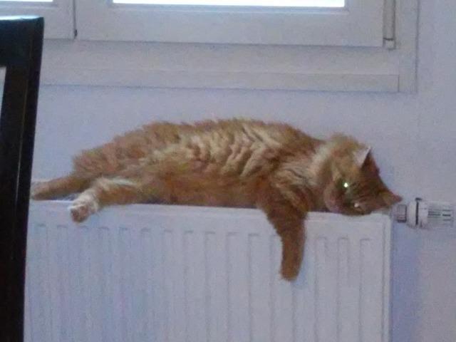 Cat red sitting, animals.