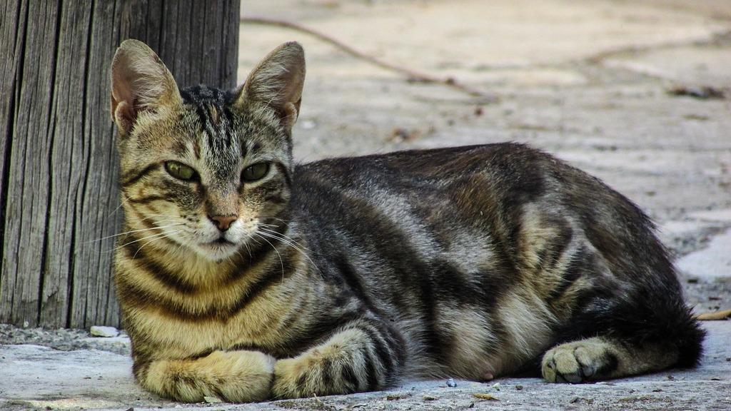 Cat resting looking, animals.