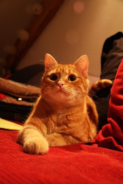 Cat roux lying, animals.
