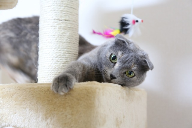 Cat scottish fold cat tower, animals.