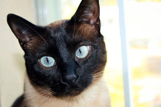 Cat siamese black face, animals.