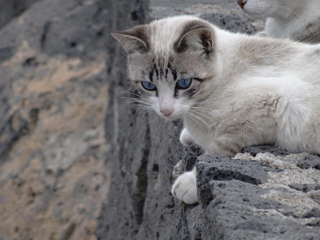 Cat siamese blue eyes, animals.