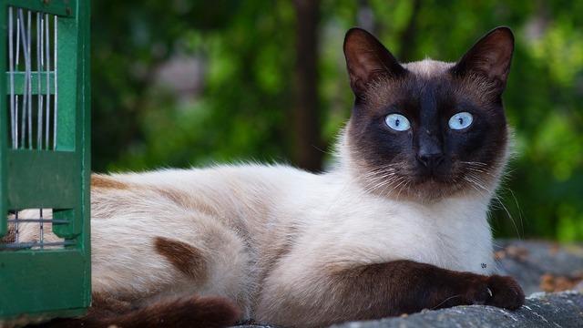 Cat siamese breed pet portrait, animals.