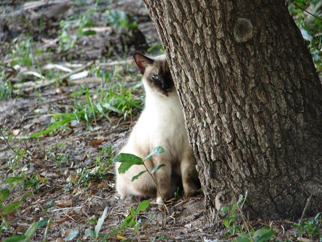 Cat siamese feline, animals.