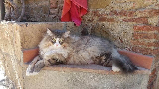 Cat siberian cat feline, animals.