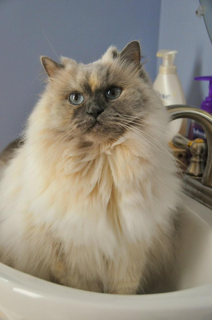 Cat sink pet, animals.