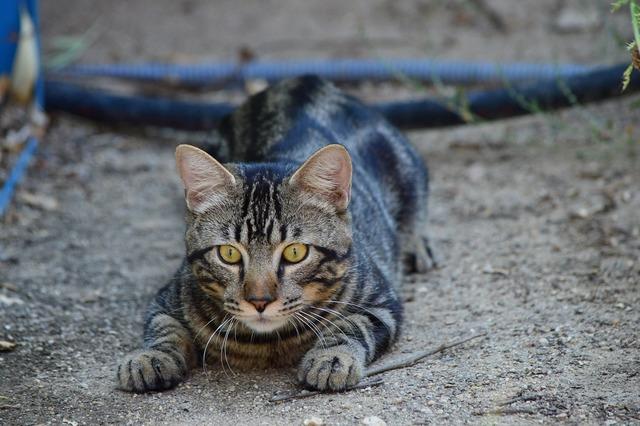 Cat stalking hunter, animals.