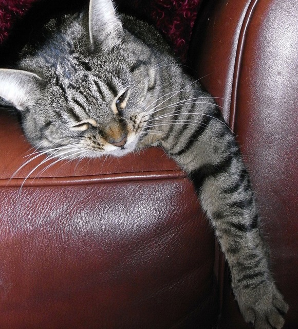 Cat stripes lazy, animals.