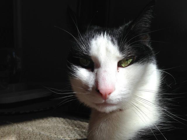 Cat sunlight cat face, animals.