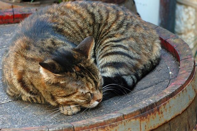 Cat tabby brown, animals.