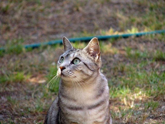 Cat tabby feline, animals.