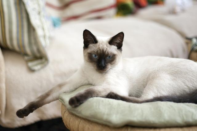 Cat thai cat blue eyes, animals.