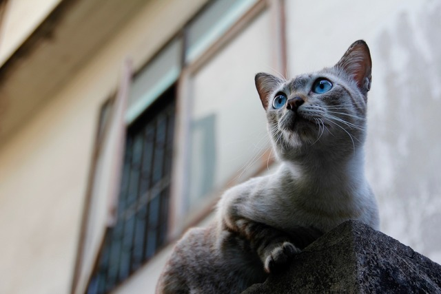 Cat thailand paw, animals.