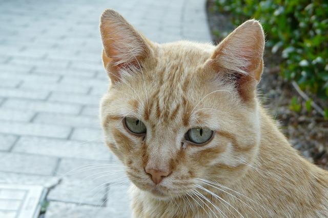 Cat tiger cat face, animals.