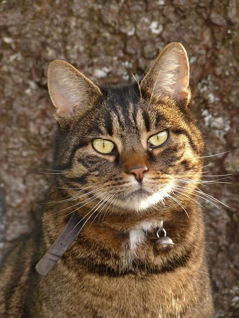 Cat tiger fur, animals.