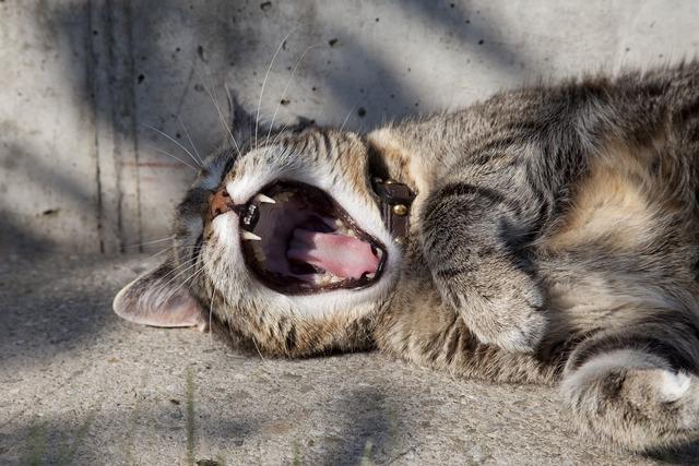 Cat tiger yawn, animals.