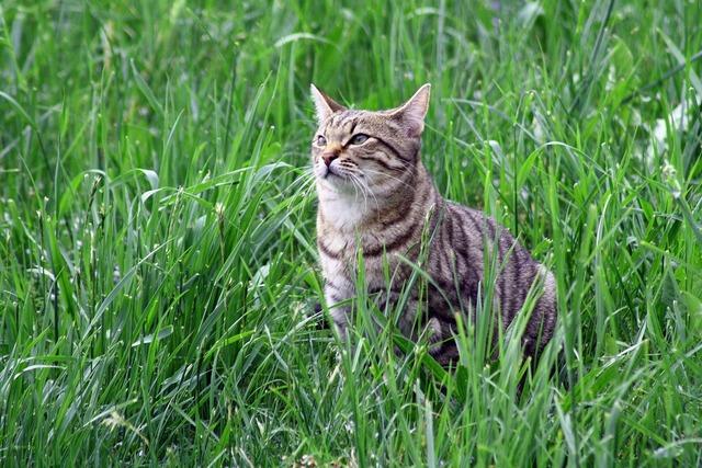 Cat tigerli tiger, animals.