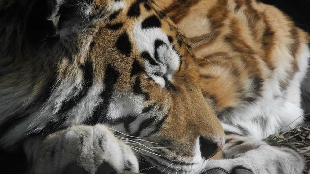 Cat tired zoo, animals.