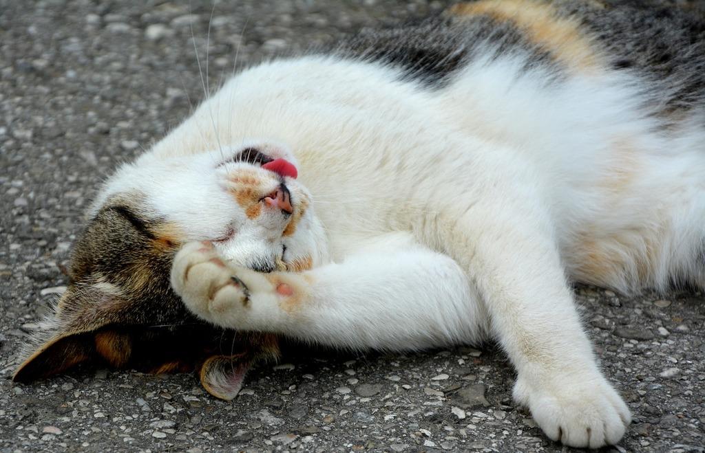 Cat tongue domestic cat, animals.