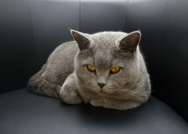 Cat «top» lurking, animals.