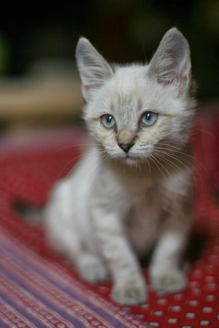 Cat white haughty, animals.