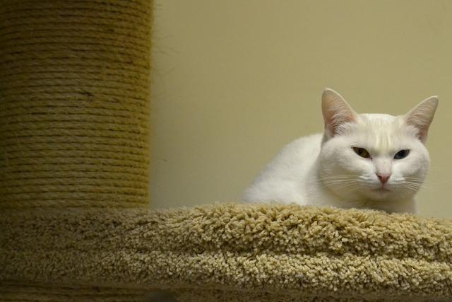 Cat white pets, animals.
