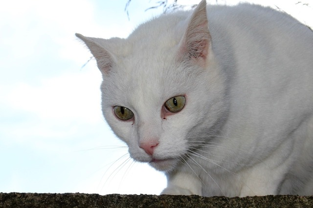 Cat white view, animals.