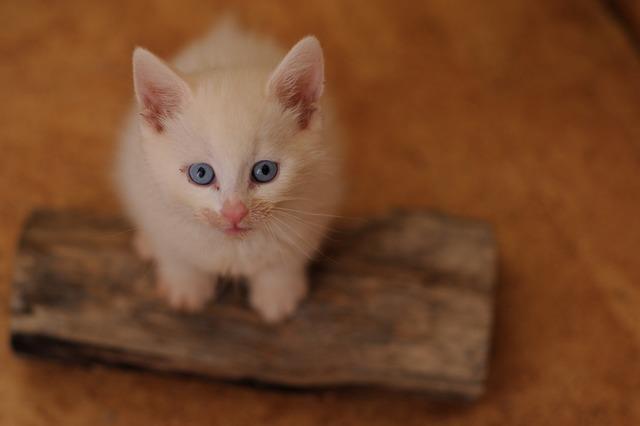 Catnip white cat blue eyes.