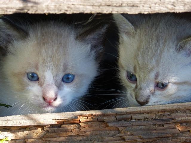 Cats kittens escondido, animals.