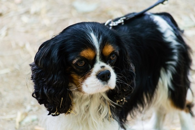 Cavalier king charles spaniel dog canine, animals.