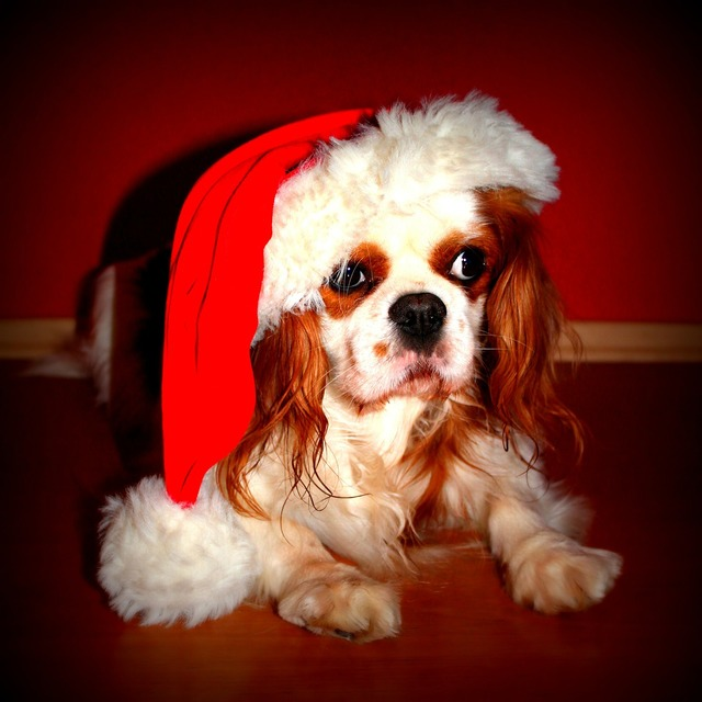 Cavalier king charles spaniel dog christmas, animals.