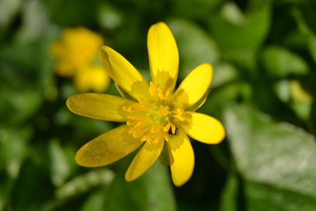 Celandine yellow flowers.