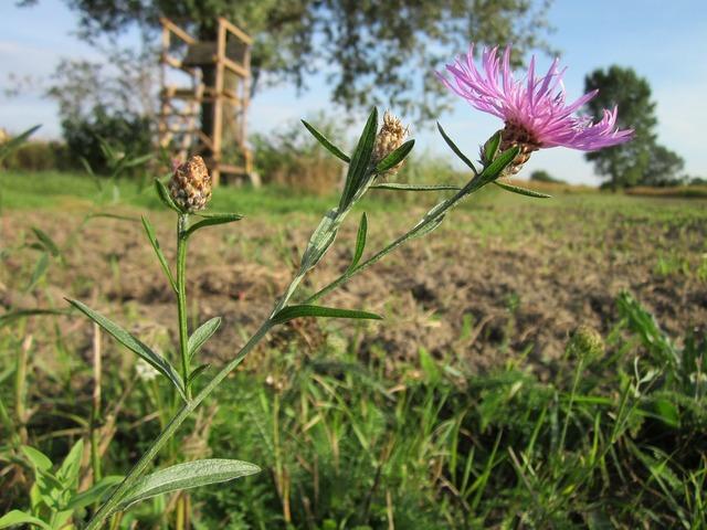Centaurea jacea brown knapweed brownray knapweed, nature landscapes.