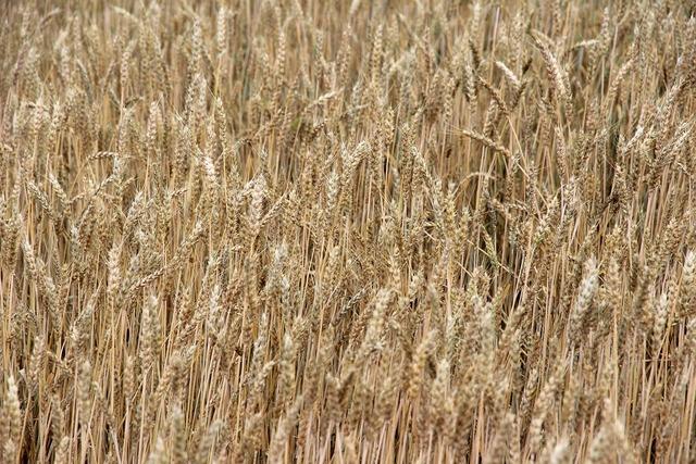 Cereals barley spike, nature landscapes.