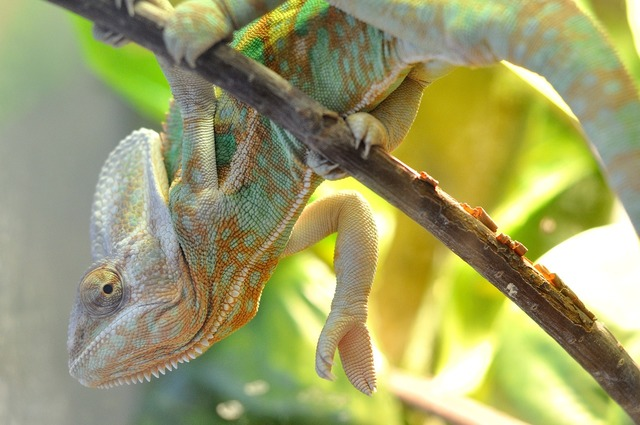 Chameleon branch pet, animals.
