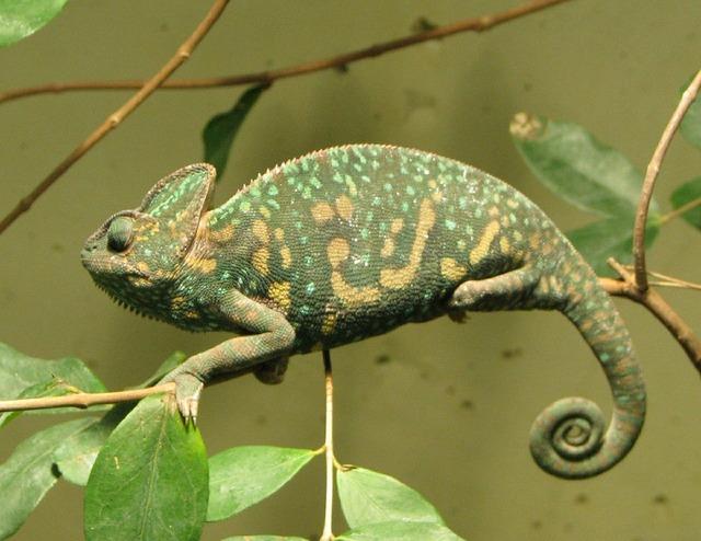 Chameleon female branch.