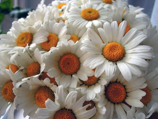 Chamomile flowers white.