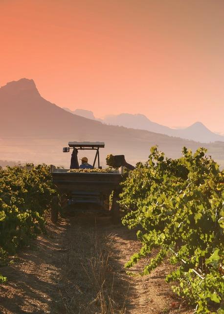 Chardonnay harvest stellenbosch.
