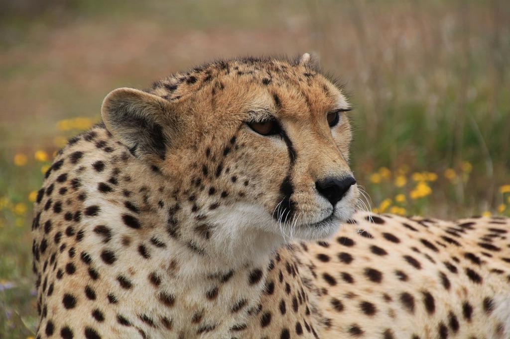 Cheetah animal world animal, animals.