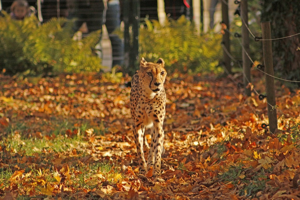 Cheetah autumn tiergarten.