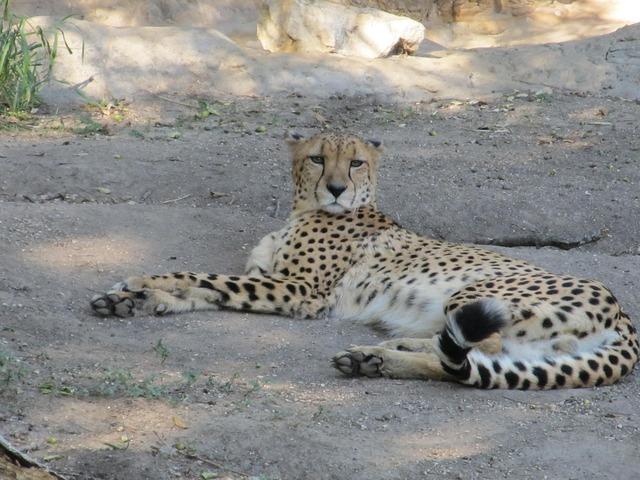 Cheetah big cat cat, animals.