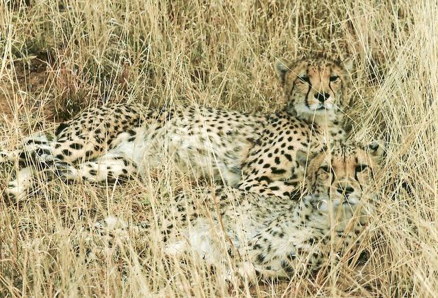 Cheetah hunting-leopard feline, animals.