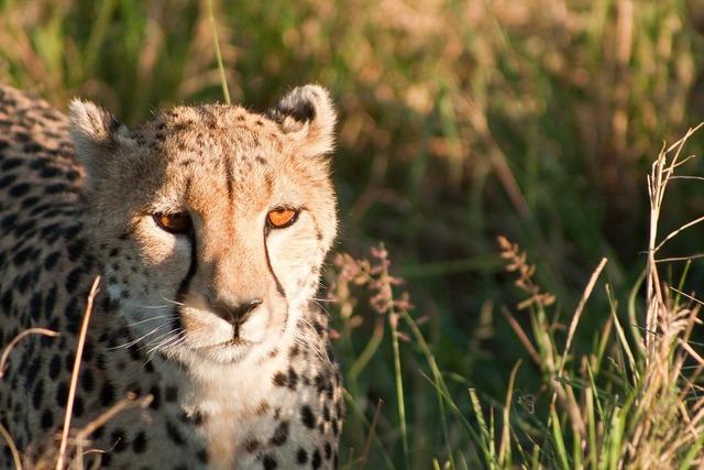 Cheetah kenya africa, animals.