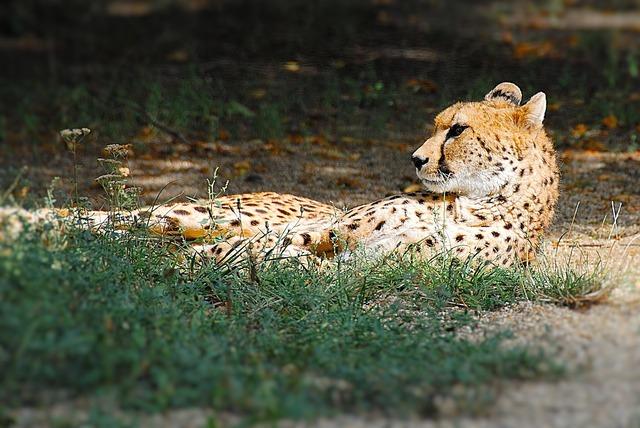 Cheetah lying cat, animals.