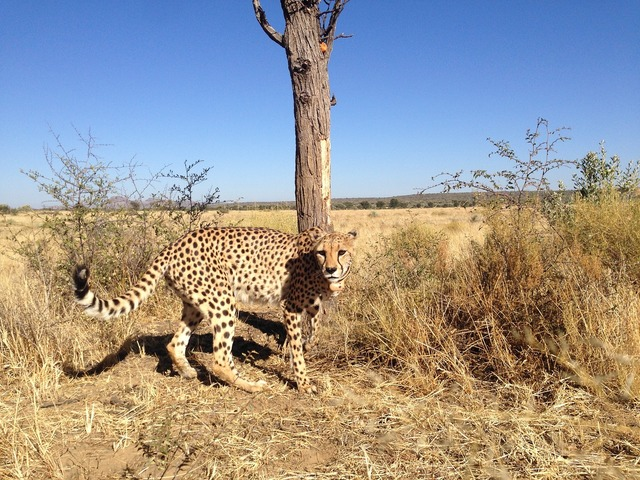 Cheetah namibia acinonyx, animals.