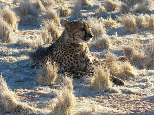 Cheetah namibia safari, animals.