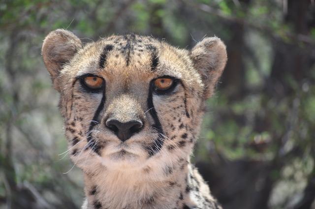 Cheetah predator cat, animals.