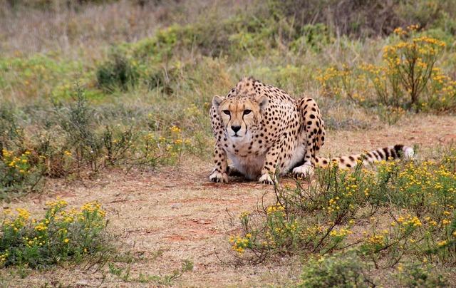 Cheetah predator wild animal, animals.
