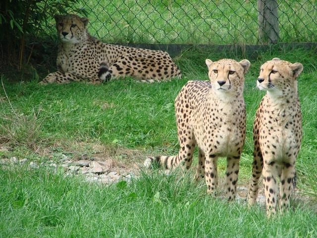 Cheetah wild animal predator.
